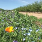 CATCH THE BUZZ – Study: Wildflower Plantings Near Almond Orchards Beneficial