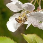 CATCH THE BUZZ – Bees face heavy pesticide peril from field edges, drift, long residue chemicals…from nearly everywhere
