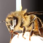 CATCH THE BUZZ – Common Pesticide Damages Honey Bee's Ability to Fly, Research Finds