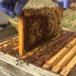 CATCH THE BUZZ – A leading biologist says Scotland's native honey bees are being threatened by imports brought in because of the hobby's growing popularity.